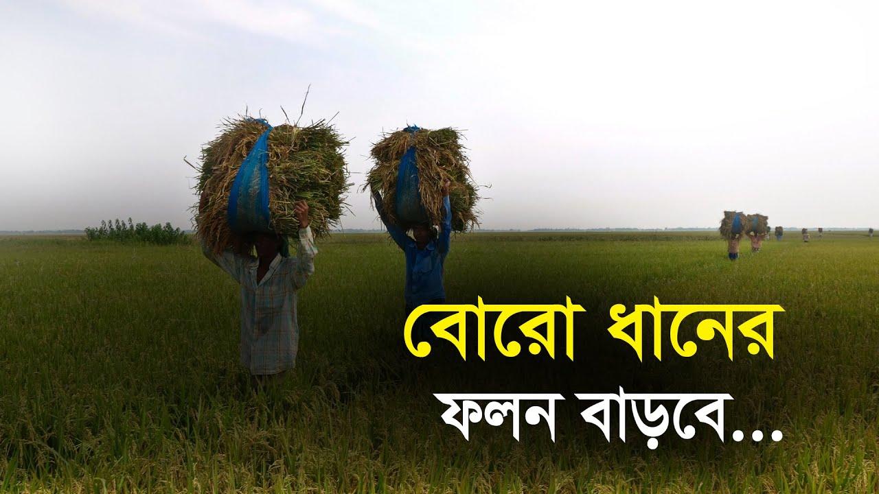 বোরো ধানের ফলন বাড়বে | Bangla Business News | Business Report 2021