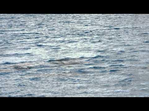 Dolphins, Guam, Feb 2011
