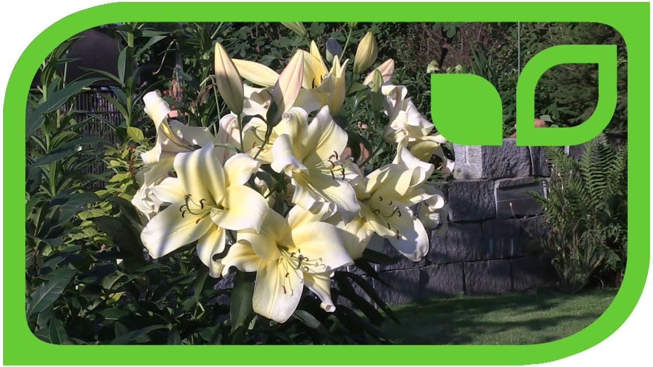 Beliebt Bevorzugt Grossblütige Lilien, erklärt von Markus Kobelt - YouTube #FU_39