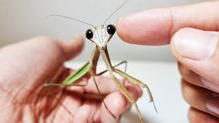 El proceso de hacerse amigo de la mantis gigante.