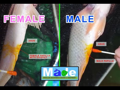 Tilapia Breeding