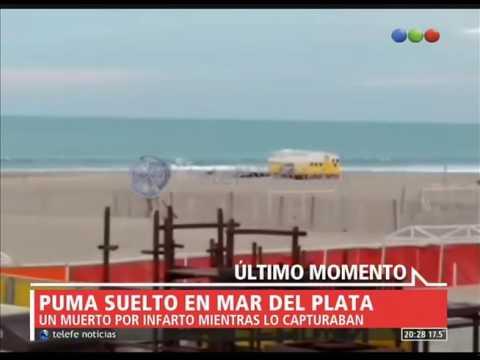 Un puma suelto en Mar del Plata y un desenlace trágico - Telefe Noticias