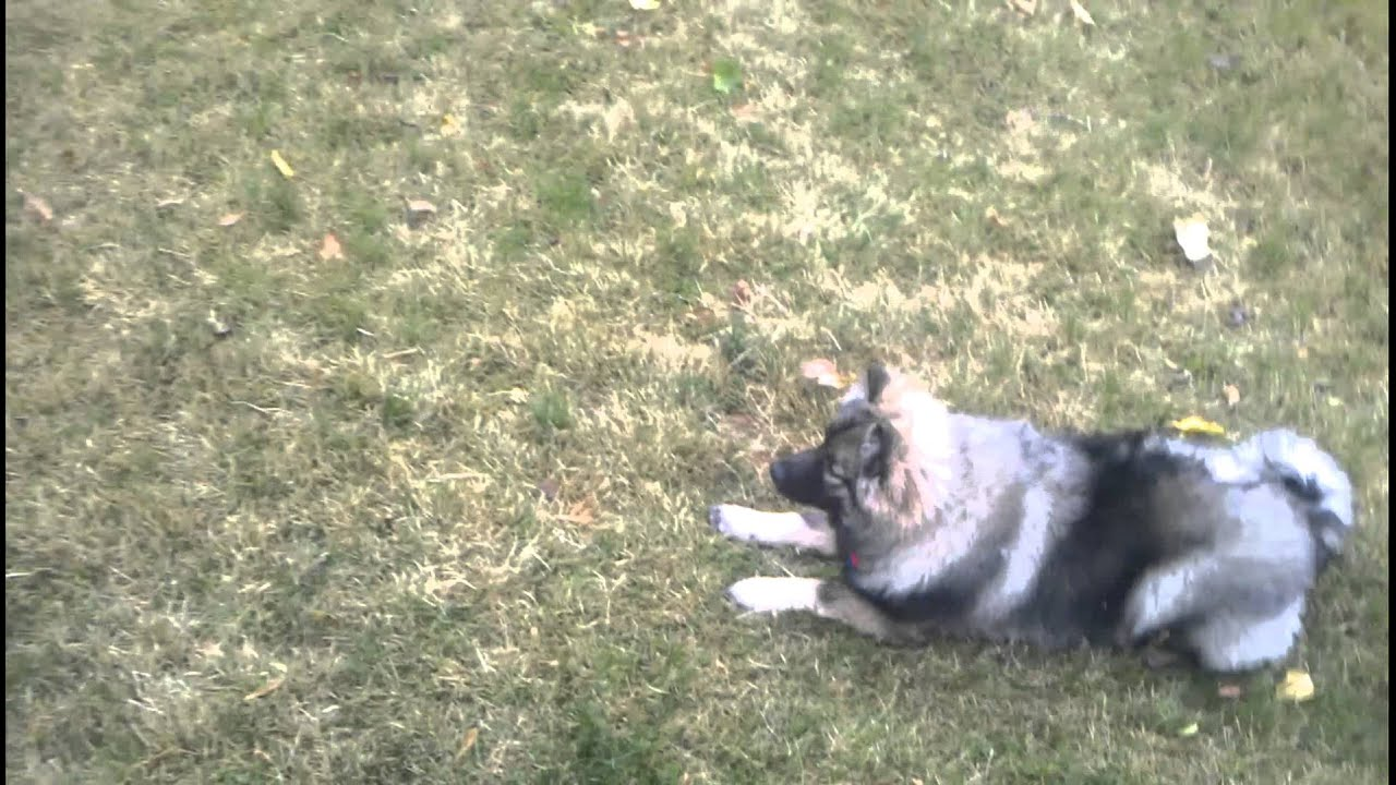 Dallas & Austin Keeshond puppies 7 months old - YouTube