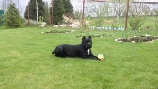 Кане Корсо. 2 года сука (девочка). Итальянская порода собак. Смотреть видео.