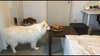 I Left My Dog Alone With Grilled Chicken! I Furbo Dog Camera