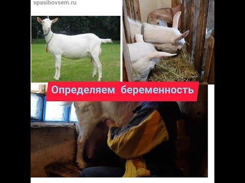 Как определить коза беременная или нет