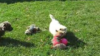 Cairn Terrier Rescue Puppies In Nj- Part 1 Of 5