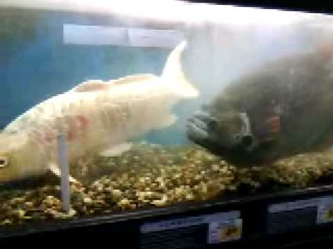 Huge fish at petco youtube for Petco koi fish