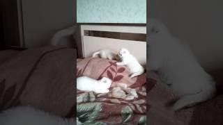 Белые шотландские котята)