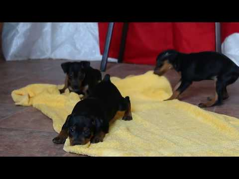 Mini Pinscher Puppies For Sale