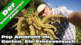 Pop Amarant selbst anbauen. Die Ernte