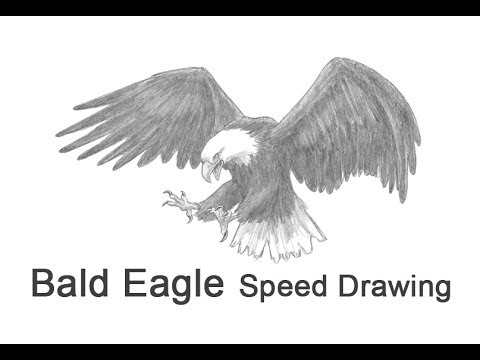 Bald Eagle (Flying / Hunting) Time-lapse / Speed Drawing