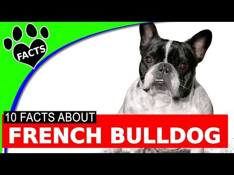 Dogs 101: French Bulldogs - Animal Facts