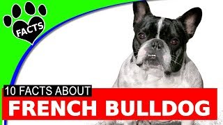 Dogs 101: French Bulldogs Cutest Small Dog Breeds Most Popular - Animal Facts