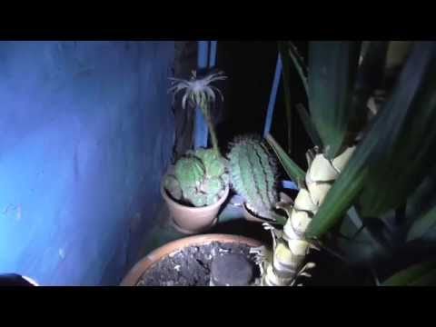 Кактус зацвел в ночь суперлуния. Полнолуние актививировало цветения кактуса
