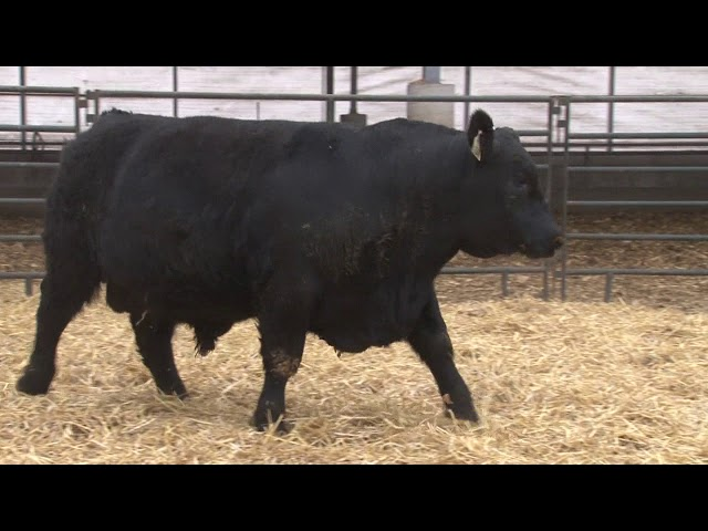 Schiefelbein Angus Farms Lot 290