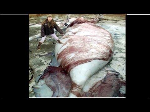 【巨大生物】ダイオウイカを超える超巨大イカ コロッサルスクイッド