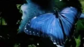 the blue butterfly legend (Costa Rican Rain Forest), la mariposa azul