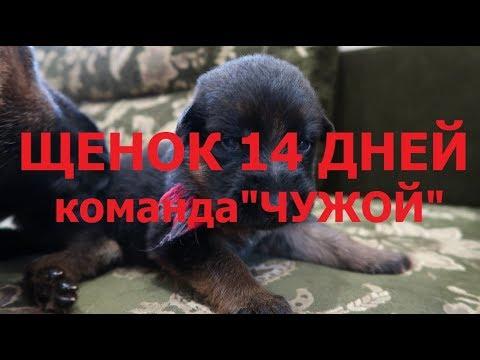 """ЩЕНОК 14 ДНЕЙ- КОМАНДА """"ЧУЖОЙ"""" !!! МАМИН ПОМОЩНИК..."""