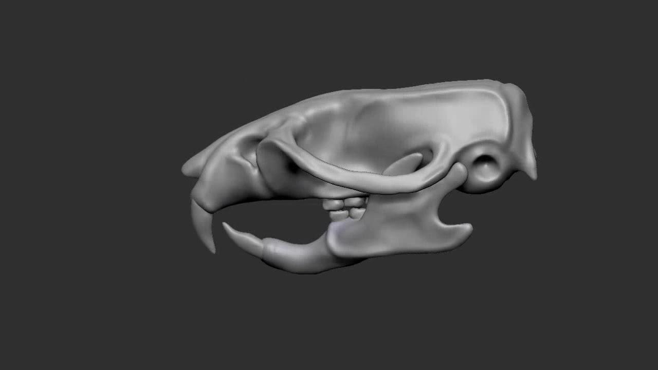 Brown Rat Male Skull By Lukas Allenbaugh Zbrush Anatomy Turntable