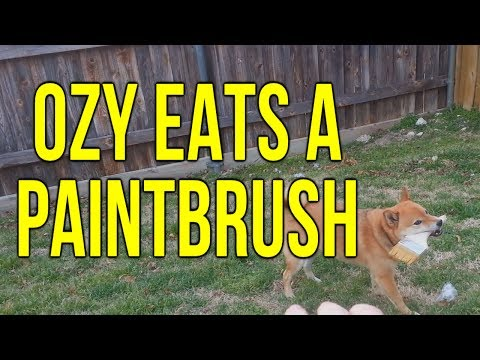 Ozy Eats A Paintbrush