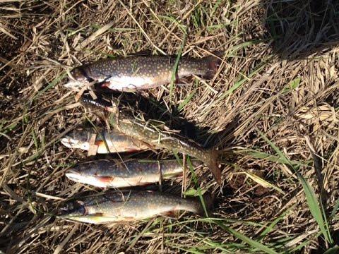 Brook trout fishing upper michigan 2016 limit caught using for Michigan fish limits