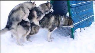 Лучшие приколы с хаски 2019 / собаки смотрят смешные видео