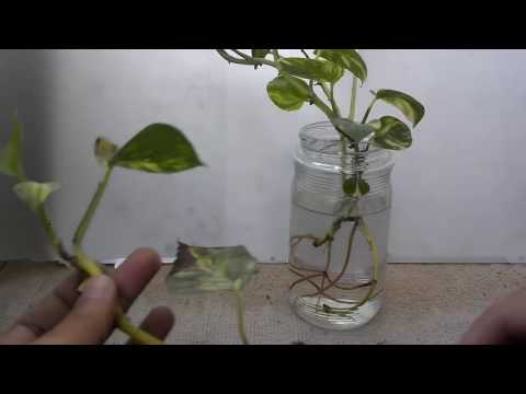 How To Grow Money Plant Into Water | How To Care Money ...