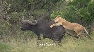 Lionesses kill buffalo and fetch cubs to feed - Maasai Mara, Kenya December 2017