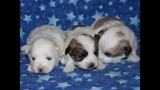 Coton de Tulear Puppies For Sale - Eliza 10/7/20