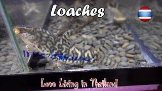 Loaches Market WORLD'S LARGEST Bangkok Thailand