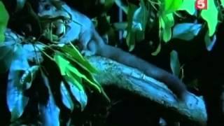 BBC Мир природы  Австралийский плейбой