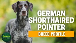 German Shorthaired Pointer  Are German Shorthaired Pointers Good Pets?