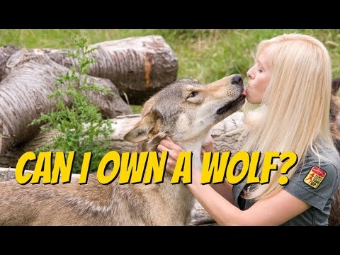 WOLVES - CAN YOU OWN ONE? The Czechoslovakian Wolfdog