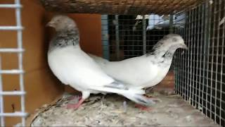 Pigeon for Sale ( Part 1) @ SA Pigeon Loft contact @ 8356865561- SOLD OUT