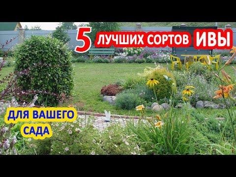 ИВА в саду. 5 лучших видов ДЕКОРАТИВНОЙ ИВЫ: Козья, Хакуро Нишики, ива Нана, Извилистая, Плакучая.