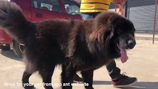 Tibetan Mastiff | Gaddi Kutta | Himalayan Sheepdog | Indian Dog Breed | Bakharwal Temperament Care |