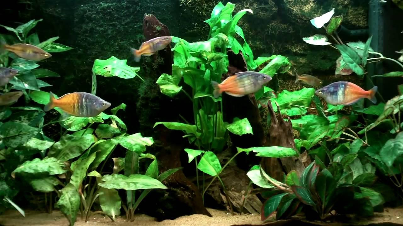 Boesemani Rainbow Fish Youtube