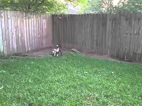 Boston Terrier enjoys Bubbles
