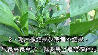 家裡陽台種朝天椒,只需兩個小竅門,每棵結果一百個,以後都不