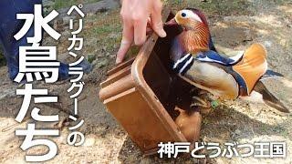 神戸市中央区『神戸どうぶつ王国』 とっても綺麗なオシドリのオス♡ エサ...