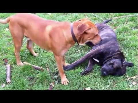 Unsere Hunde spielen im Garten