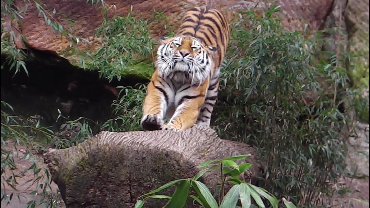 Nürnberg Tigers