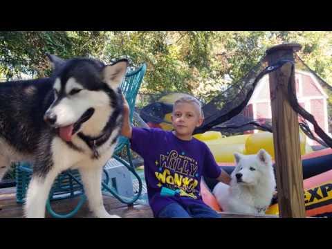 Malamute & Husky Scream When They See Their Nephew