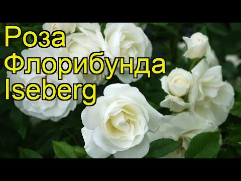 Роза флорибунда Айсберг. Краткий обзор, описание характеристик, где купить саженцы Iseberg