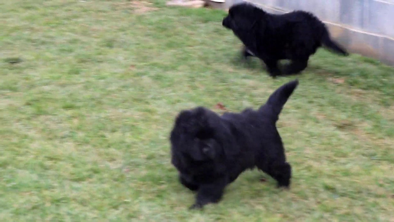 Newfoundland Puppies For Sale Youtube