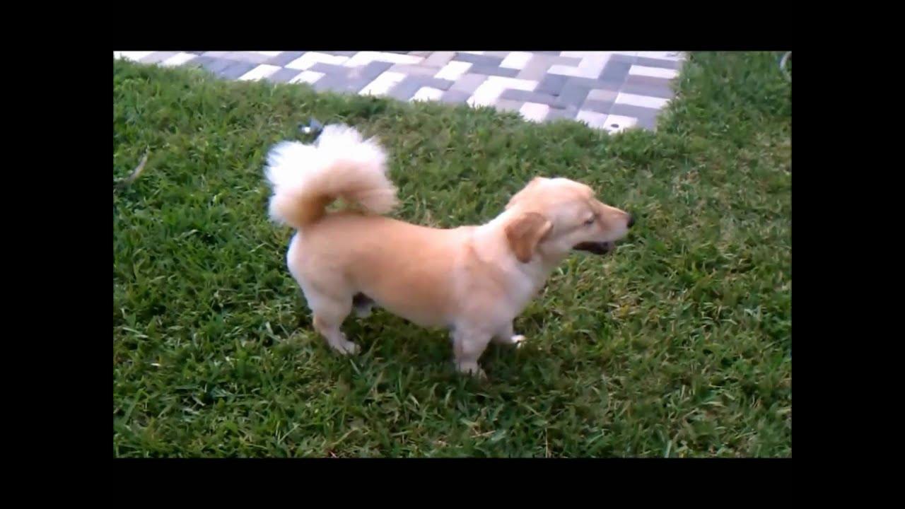 Small Dog Looks Like Miniature Lab l Rare Dog Breed l Best ...