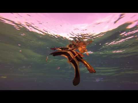 Baby Batfish At Marsa Nakari