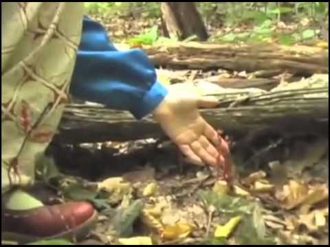 Indian Pipe and Pinesap with herbalist Robin Rose Bennett