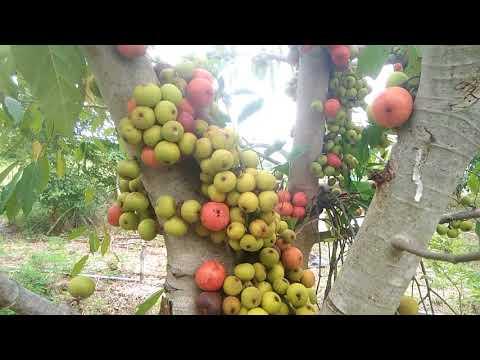 ต้นมะเดื่อ...!!!??ลูกกินได้